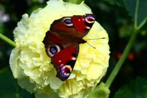 Dagpauwoog op roos